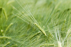 Green cereal. On a grain field in spring Stock Image
