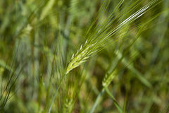 Green Cereal Grain Wheat. Close Up of Green Cereal Grain Wheat, bread, flour, ecology Stock Image