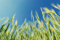 Green cereal plant under blue sky Stock Photos
