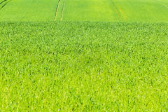 Green cereals field in summer Stock Photography