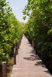 Green Ceriops tagal tree in mangrove forest. Green Ceriops tagal tree in mangrove forest with wooden bridge walk way at Nature learning path of Prasae, Rayong royalty free stock images