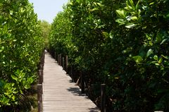 Green Ceriops tagal tree in mangrove forest. Green Ceriops tagal tree in mangrove forest with wooden bridge walk way at Nature learning path of Prasae, Rayong stock image