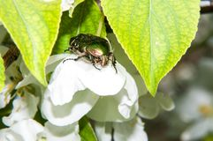 Green chafer beetle on a white Apple flower Stock Image