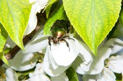 Green chafer beetle on a white Apple flower Royalty Free Stock Photo