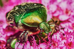 Green chafer Stock Photos