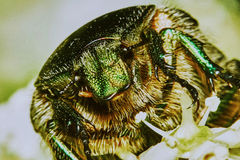 Green chafer Stock Photo