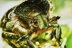 Green chafer Stock Image