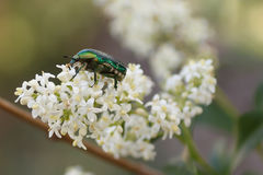Green chafer Royalty Free Stock Images