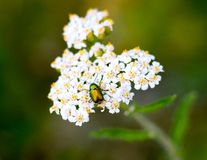 Green chafer on yarrow royalty free stock photo