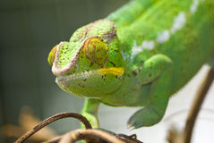 Green chameleon Royalty Free Stock Images