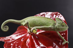 Green Chameleon Stock Photography