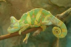 Green chameleon royalty free illustration