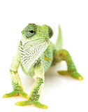 Green Chameleon. With shedding parts on white background Stock Image