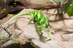 Green chameleon Stock Images