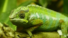 Green chameleon Royalty Free Stock Photos