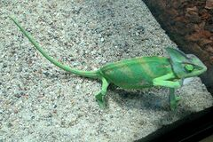 green chameleon royalty free stock image