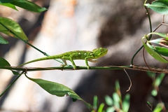 Green chameleon Anja Royalty Free Stock Image