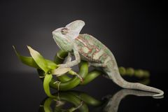 Chameleon on bamboo on a black background. Green chameleon on bamboo, lizard background Royalty Free Stock Photography