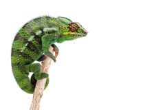 Green chameleon on a branch. Isolated against a white studio background Royalty Free Stock Photography