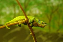 Green chameleon on branch Royalty Free Stock Photos