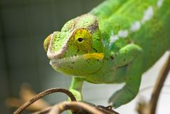 Green chameleon Royalty Free Stock Image