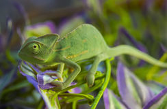 Green Chameleon. On the branch Royalty Free Stock Image