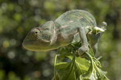 Green chameleon on a branch Stock Photography