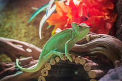 Green chameleon - calyptratus Stock Images