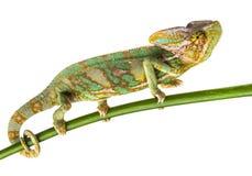 Green chameleon - Chamaeleo calyptratus Stock Image