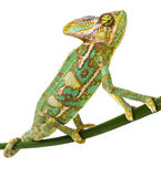 Green chameleon - Chamaeleo calyptratus. Male on a branch Stock Photography