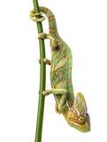 Green chameleon - Chamaeleo calyptratus Stock Images