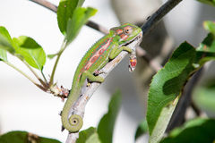 Green Chameleon Royalty Free Stock Photo