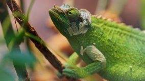 Green chameleon climbing up tree. Closeup footage stock video footage