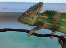 A green chameleon clings to a branch Stock Photo