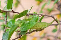 Green chameleon crawling on a branch of a bush with green leaves on nature stock photos