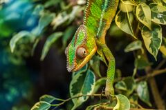 Green Chameleon on Green Leaved Tree Royalty Free Stock Photo