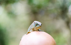 Green chameleon on the head of the bald man. Stock Images