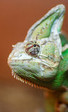 Green chameleon head Royalty Free Stock Photography