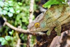 Green Chameleon Lizard Royalty Free Stock Photos