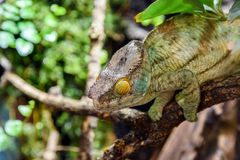 Green Chameleon Lizard Stock Photos