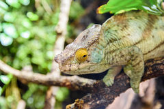 Green Chameleon Lizard Stock Image