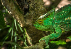 Green chameleon, Madagascar Stock Images