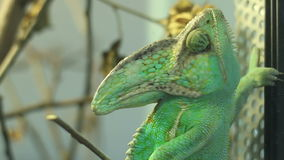 Green Chameleon. Moving lazy eyes for surroundings. Chameleons or chamaeleons (family Chamaeleonidae) are a distinctive and highly specialized clade of lizards stock video footage