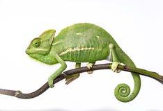 Green chameleon. One green chameleon - Chamaeleo calyptratus Royalty Free Stock Photo