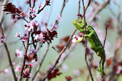 Green chameleon and pink flowers Stock Image