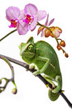Green chameleon and pink orchid Stock Images