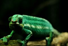 Green Chameleon  portrait. Portrait of a beautiful chameleon Royalty Free Stock Images