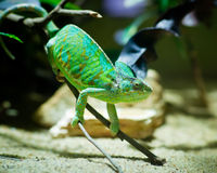 Green chameleon sitting on a branch in a terrarium Stock Photo