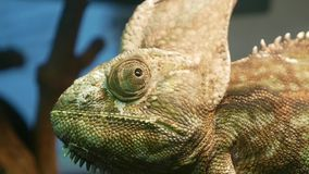 Green chameleon sitting in a terrarium. And looking around stock video footage