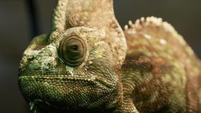 Green chameleon sitting in a terrarium. And looking around stock footage